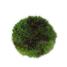 Cladophora aegagropila - Mechová kulička 9 cm